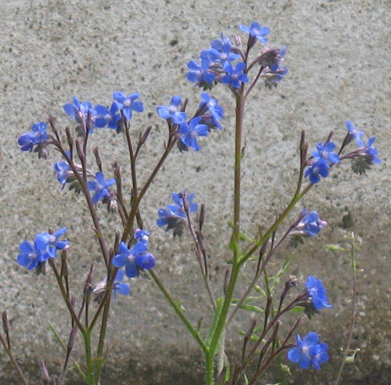 Blue flowers.cr